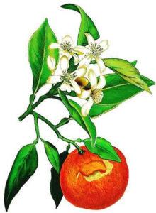 fleur-oranger
